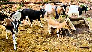 Arapawa goats in the USA