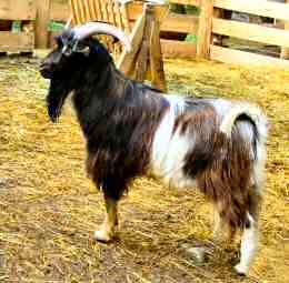 Arapawa goat in the USA