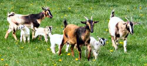 Arapawa goats with kids